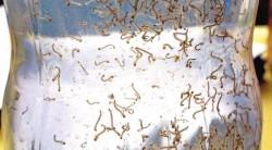 larva_dengue-250x138